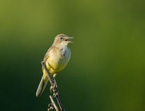 Singing Yellow Wagtail on branch. Singing Western Yellow Wagtail on branch Stock Photos