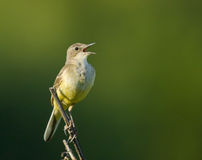 Singing Yellow Wagtail on branch. Singing Western Yellow Wagtail on branch Royalty Free Stock Images