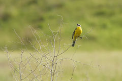 Singing yellow wagtail. On dry bush Stock Photos