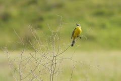 Singing yellow wagtail Stock Photos