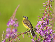 Singing Yellow Wagtail on Fireweed flower. Singing Western Yellow Wagtail on Fireweed flower Royalty Free Stock Image