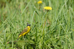 Singing Yellow Wagtail in grass Royalty Free Stock Image