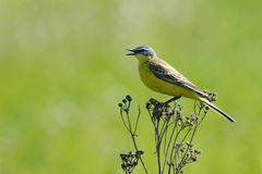 Singing Yellow Wagtail Royalty Free Stock Photo