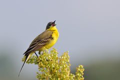Singing Yellow Wagtail Royalty Free Stock Photos