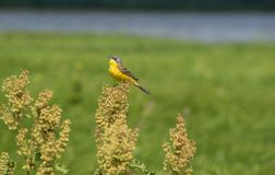 Singing Yellow Wagtail. Sits on top of a large grass Royalty Free Stock Image