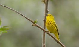 Singing Yellow Warbler Royalty Free Stock Photo
