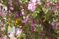 Singing Yellow Warbler Royalty Free Stock Images