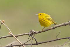 Singing Yellow Warbler Royalty Free Stock Photography
