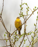 Yellowhammer on branch. Singing Yellowhammer on spring branch Stock Image