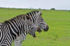 Singing Zebra. Two Zebra profiles, one with opened jaw royalty free stock photo