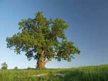 Singl oak tree. Royalty Free Stock Photography