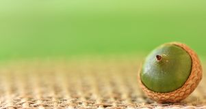 Single acorn. Close up of an acorn on jute, set against a green background Stock Photo