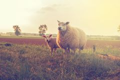 Single adorable baby lamb, with its proud mother in the field with sunshine
