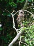 Single adullt barred owl in tree Stock Image