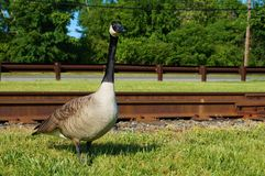 Single adult canadian goose standing in the green grass with rusty railroad tracks on the background. Closeup view. stock image