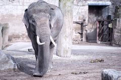Single Adult Elephant Walking. Shot of an adult Elephant in an enclosure royalty free stock images