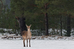 Single Adult Female Red Deer On Snowy Field At Pine Forest Background. European Wildlife Landscape With Snow And Deer Cervidae stock photography