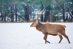Single adult noble deer with big beautiful horns with snow walking on winter forest background. European wildlife landscape with s. Now and deer with big antlers royalty free stock image