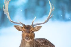 Single adult noble deer portrait with big beautiful horns with snow on winter forest background. European wildlife landscape with royalty free stock images