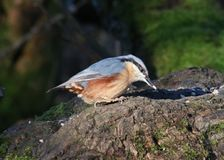 Nuthatch, sitta europaea, tree trunk, seed in bill. Single adult Nuthatch, sitts europaea, on a fallen tree trunk with a seed in it`s bill and sun on it`s blue stock images