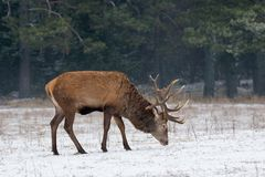 Single Adult Red Deer Stag Cervus Elaphus With Big Horns Feeding On Snowy Grass Field At Foggy Forest Background. European Wil stock photo