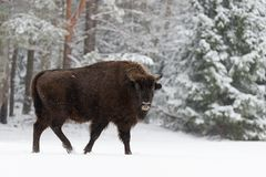 Single Adult Wild European Brown Bison Bison Bonasus On Snowy Field At Forest Background. European Wildlife Landscape With Sno stock image