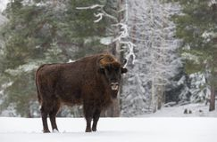 Single Adult Wild European Brown Bison  Bison Bonasus  On Snowy Field At Forest Background. European Wildlife Landscape With Sno. W And Adult Aurochs  Wisent Royalty Free Stock Images