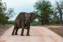 Single African elephant bull walking in a road. Forcing the safari cars to stop in the savannah of South Africa royalty free stock photography