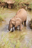 Single African elephant drinking water Stock Image