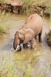Single African elephant drinking water. Single African elephant standing in the river drinking water Stock Image