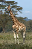 Single african giraffe. Looking ahead stock photos