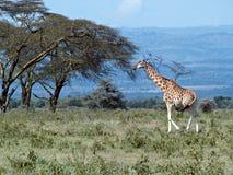 Single african giraffe royalty free stock photos