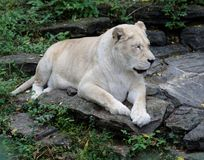 Single African Lioness. Beautiful African lioness relaxing on rocks stock photos