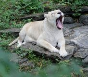 Yawning African Lioness. Single African lioness relaxing on rock and yawning royalty free stock image