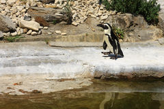 Single African Penguin near a pool in a zo. Single African Penguin (Spheniscus Demersus) near a pool in a zoo horizontal Stock Photo