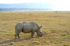 Single African rhinoceros Royalty Free Stock Images