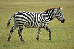 Single african zebra. Running ahead royalty free stock photo