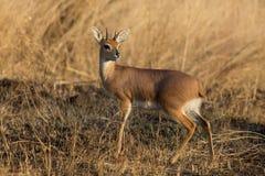 Single alert steenbok carefully graze burnt grass. Single alert steenbok carefully graze on burnt grass Royalty Free Stock Photos