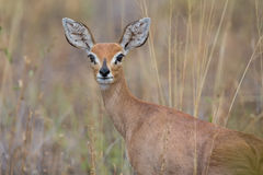 Single alert steenbok carefully graze burnt grass. Single alert steenbok carefully graze on burnt grass Stock Images