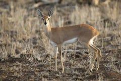 Single alert steenbok carefully graze on short grass. Single alert steenbok carefully graze on short dry grass Royalty Free Stock Image
