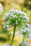 Single allium flower with white head on a garden background Stock Photo