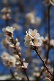 Single almond tree blooms soft backround. Close up of a single branch of a flowering almond tree with a very soft focus background Stock Photo