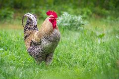 Single or alone colorful rooster walking through farmyard on lush green grass royalty free stock images