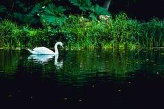 Single alone swan slowly swim on lake at green edge. Profile s Royalty Free Stock Photos