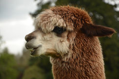 A single alpaca Stock Photos
