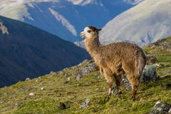 Alpaca in the Mountains of Peru. A single alpaca looking out over the mountains in Peru. Some rocks and green grass in the foreground. Mountains in the distance stock photography