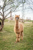 Single Alpaca in the meadow Royalty Free Stock Photography