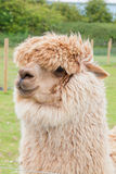 Single alpaca showing its thick fleece Royalty Free Stock Photo