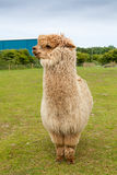 Single alpaca showing its thick fleece Stock Photos