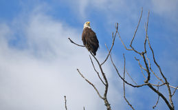 Single American Bald Eagle. An adult American Bald Eagle surveys the area while perched on the tip of a bare branch Royalty Free Stock Photos